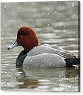 Redhead Duck In A Winter Snow Storm Acrylic Print
