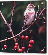 Redpoll On Crabapple Tree Acrylic Print