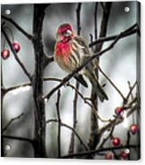 Reds Of Winter Acrylic Print