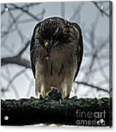 Redtail Hawk And Mouse Acrylic Print