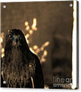 Redtail Acrylic Print by Steven Digman