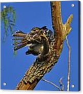 Redtailed Hawk Yearling Acrylic Print