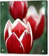 Redwhitetulips6838-1 Acrylic Print