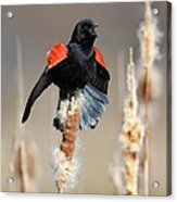 Redwing Blackbird Displaying Acrylic Print