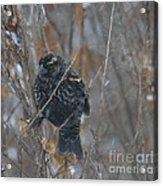 Redwing Blackbird Immature Male  Acrylic Print