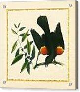 Redwing Blackbird Square Acrylic Print