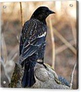 Redwing Blackbird Acrylic Print