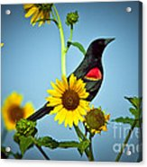 Redwing In Sunflowers Acrylic Print