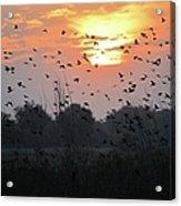 Redwing Sunset Acrylic Print