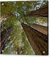 Redwood Canopy Acrylic Print