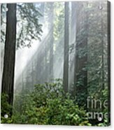 Redwood Forest With Sunbeams Acrylic Print
