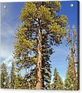 Redwood Acrylic Print