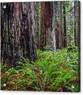 Redwood Sentinels Acrylic Print