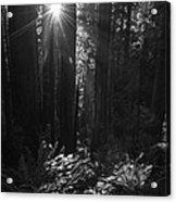 Redwood Sunburst Monochrome Acrylic Print