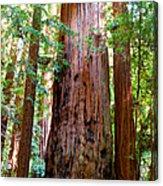 Redwood Tree  Acrylic Print