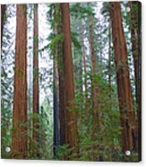 Redwood Trees Acrylic Print