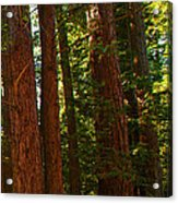 Redwood Wall Mural Panel Three Acrylic Print
