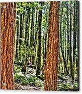Redwoods 2 Big Basin Acrylic Print