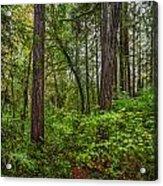 Redwoods 2 Acrylic Print
