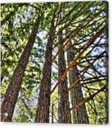 Redwoods 3 Big Basin Acrylic Print