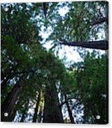 Redwoods II Acrylic Print