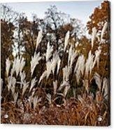 Reeds Highlighted By The Sun Acrylic Print