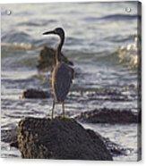 Reef Egret Acrylic Print