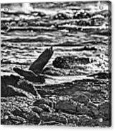 Reef Egret In Flight  Acrylic Print