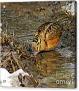 Reflected Eye Woodcock Acrylic Print