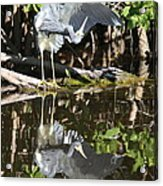Reflected Great Blue Heron Acrylic Print