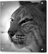 Reflecting Bobcat... Acrylic Print by Christena Stephens