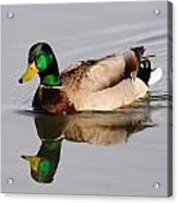 Reflecting Duck Acrylic Print