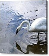 Reflection Of A Lone White Swan Acrylic Print