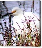 Reflection Of A Snowy Egret Acrylic Print
