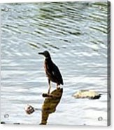 Reflection Of The Green Heron Acrylic Print