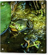 Reflections Of A Bullfrog Acrylic Print