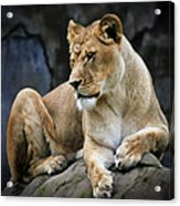 Reflections Of A Lioness Acrylic Print