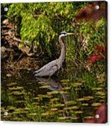 Reflective Great Blue Heron Acrylic Print