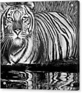 Reflective Tiger Acrylic Print