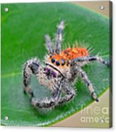 Regal Jumping Spider Acrylic Print