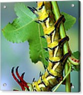 Regal Moth Caterpillar Acrylic Print