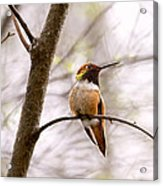Regal Rufous Hummingbird Sitting Acrylic Print