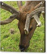 Reindeer Head Acrylic Print