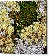 Reindeer Moss And Lichens Acrylic Print