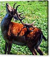 Reindeer Scratch Acrylic Print