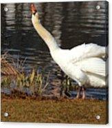 Relaxed Swan Acrylic Print