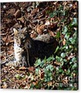 Relaxing Male Bobcat Acrylic Print by Eva Thomas