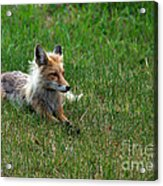 Relaxing Red Fox Acrylic Print