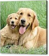 Relaxing Retrievers Acrylic Print