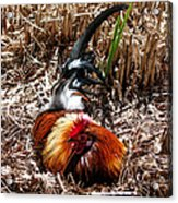 Relaxing Rooster Acrylic Print